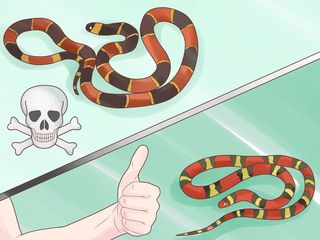Tell-the-Difference-Between-a-King-Snake-and-a-Coral-Snake-Step-2